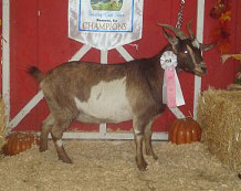 Bambi, Yearling Champion Doe