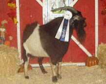 Buck-a-Roo Grand Champion Buck