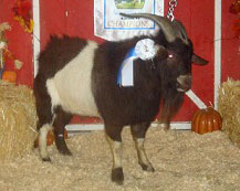 Buck-a-Roo, Yearling Champion