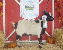 Elvis, Junior Champion Wether