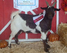 Jasper, Senior Champion Wether