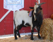 SMR Laker: 2012 Champion Futurity Buckling