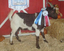 Jasper, Grand Champion Wether